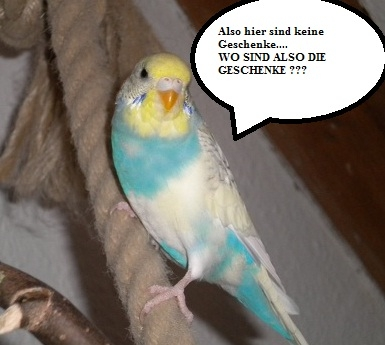 hellblau-weiße Wellensittich-Henne