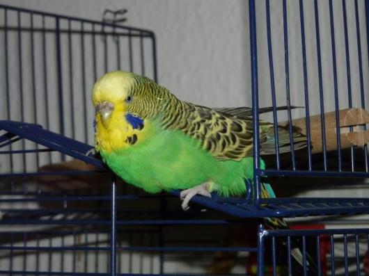 grüne Wellensittich-Henne Standard Halbstandard liegt auf Bauch