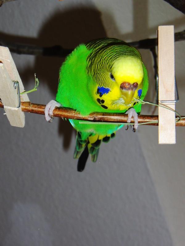 grüne Wellensittich-Henne mit Gras im Schnabel