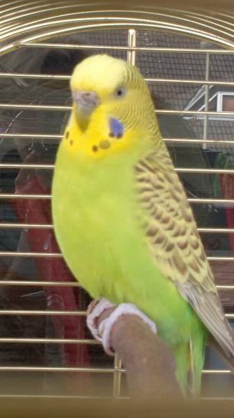 olivgrüne Wellensittich-Henne im goldenen Käfig