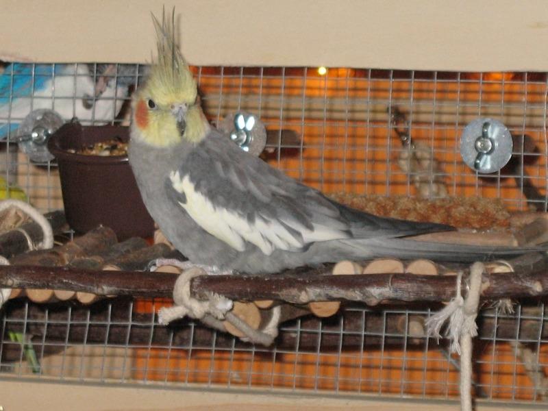 grauer Nymphensittich in Vogelvoliere