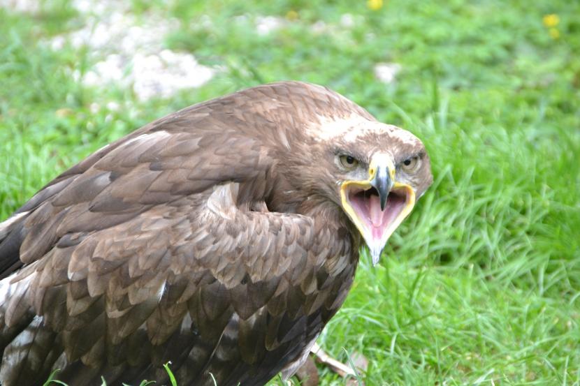 schreiender Greifvogel