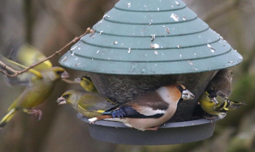 Grünfink, Kernbeisser und Erlenzeisig gemeinsam am Futtersilo