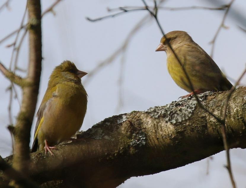 Ein Grünfinkenpärchen auf einem dicken Ast