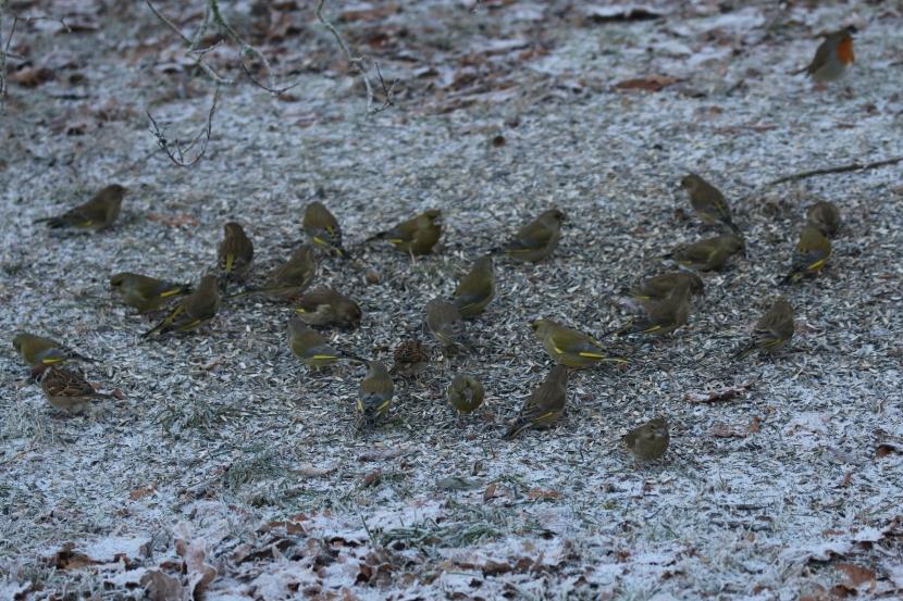 Mehr als zwanzig Grünfinken im Schwarm an Futterstelle