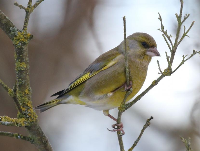 Ein männlicher Grünfink