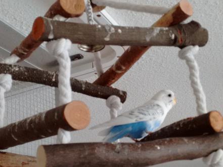 weiß-blaue Wellensittich-Henne  Vermittlung Hagen