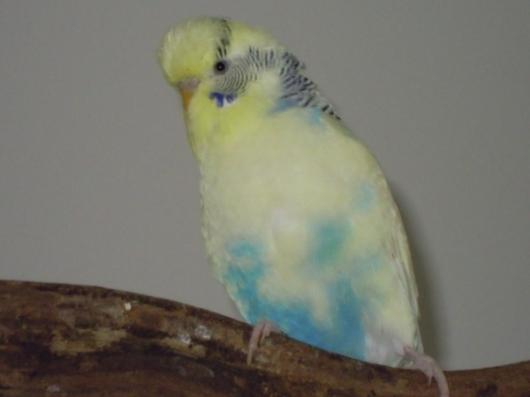 gelb-blauer Wellensittich