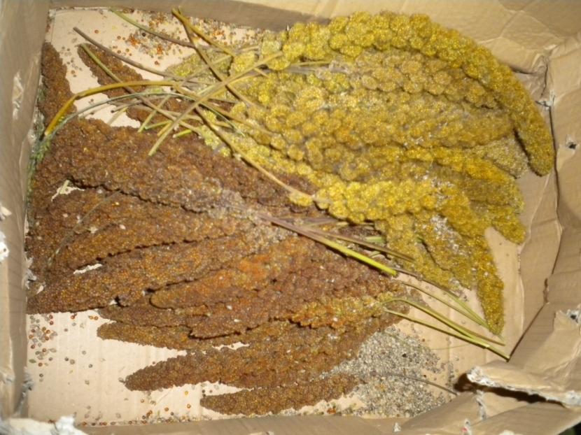 halbreife kolbenhirse