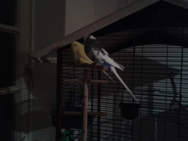 gelbe Wellensittich-Henne Fettlipom Fettgeschwulst weiß-blauer Hahn übergewichtig