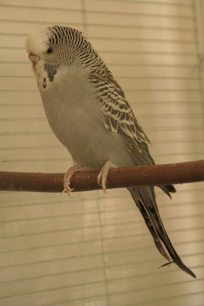 graue Wellensittich-Henne zu lange Krallen