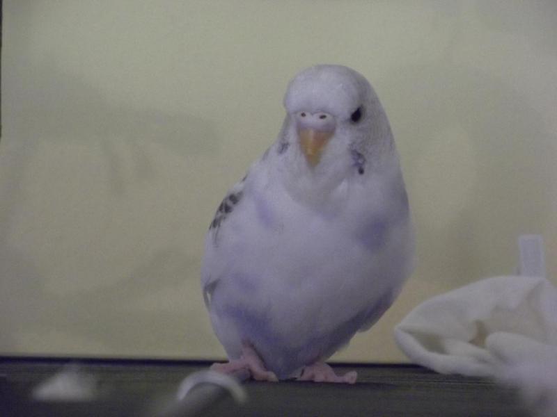 junde Wellensittich-Henne weiße Nasenhaut