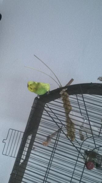 gelbgrüner Wellensittich-Hahn sitzt auf dem Käfig
