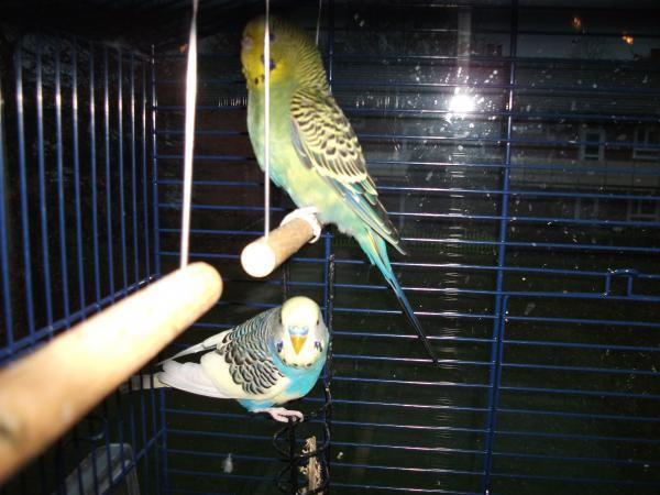 grüne Wellensittich-Henne auf Schaukel