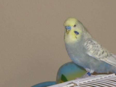 grau-blau-gelber Wellensittich