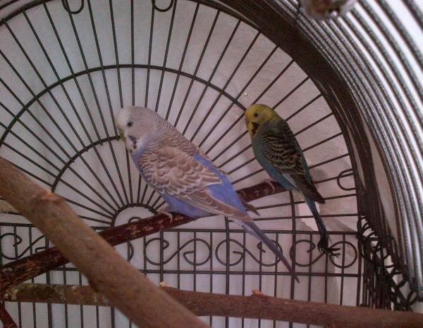 Grauflügel Wellensittich-Henne Gelbgesicht-Wellensittich-Henne