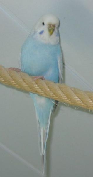Hellflügel Grauflügel Wellensittich-Henne auf Seil Vermittlung