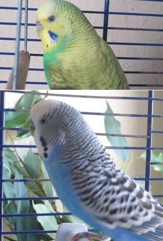 güner blauer Welli-Paar
