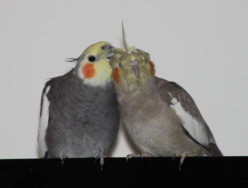 Nymphensittich-Paar krault sich