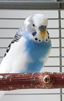 blau-weißer Johnny