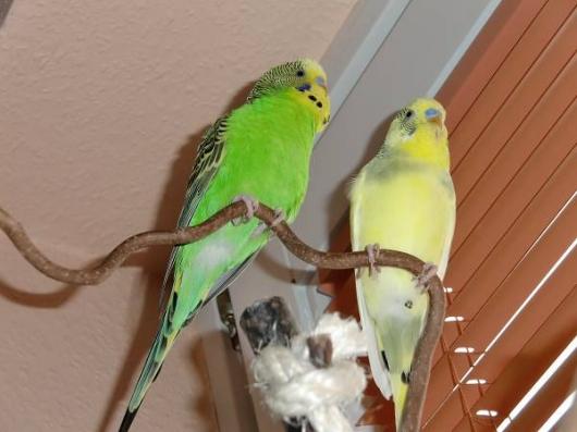 Wellensittich-Hahn grün gelb