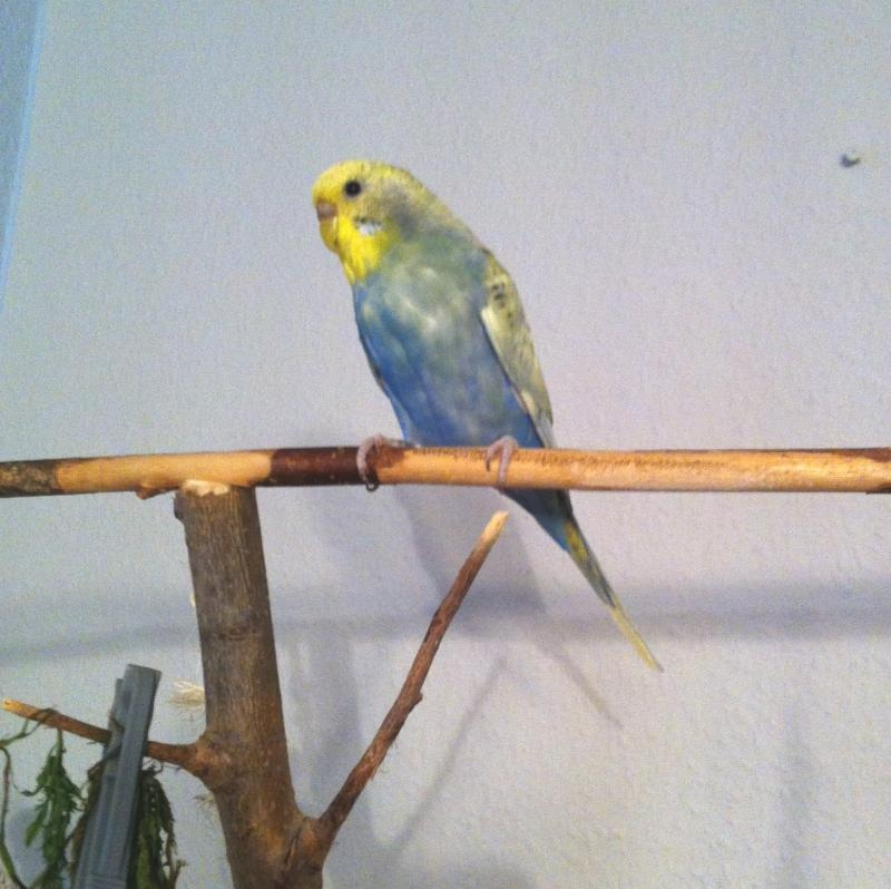 Wellensittich-Henne Knopfaugen Gelbkopf