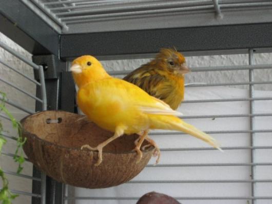 Kanarienvogel gelb braun