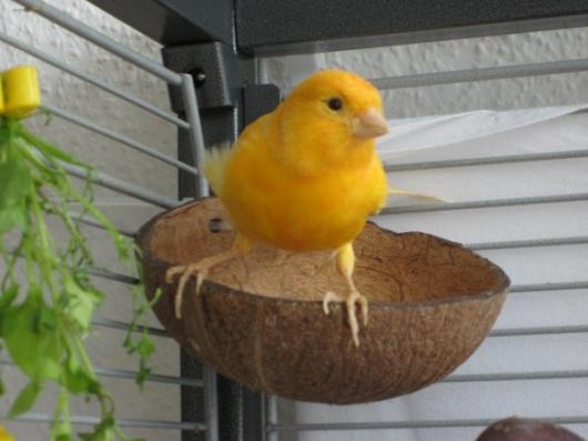 gelber Kanarienvogel Hahn Abgabe Vermittlung