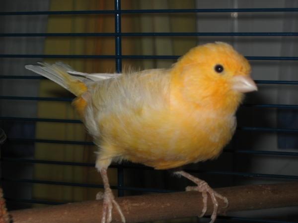 orangener Kanarienvogel Kanarihahn Vermittlung Berlin