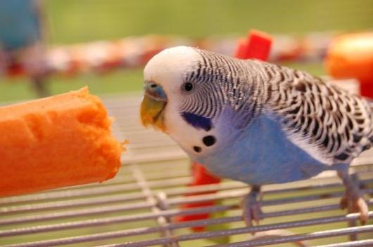blauer Wellensittich Hahn frisst Karotte