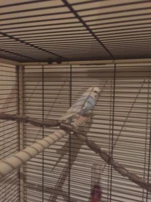 Welli-Henne im Käfig