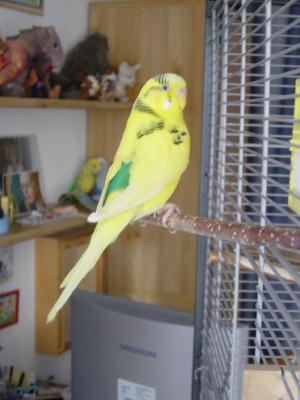 gelb-grüne gescheckte Henne