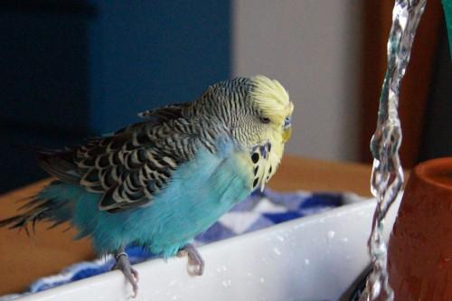 blaues Gelbgesicht beim Baden