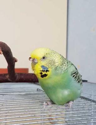 grüne Welli-Henne auf Käfig