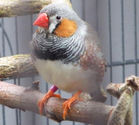 Zebrafink-Hahn orange Backen