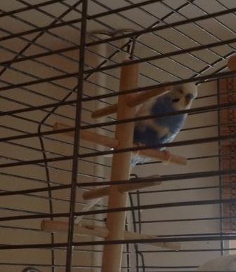 blauer Schecke im Käfig