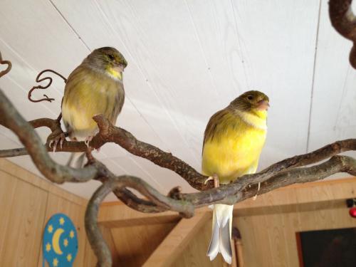 Leverkusen Kanarienvögel