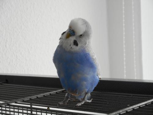 blauer Welli-Hahn auf Käfig