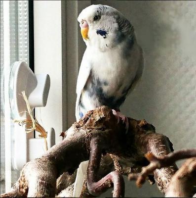 Welli-Henne Robin auf Korkenzieher-Ast