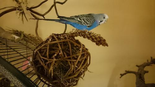 blaue Henne sitzend auf Kolbenhirse
