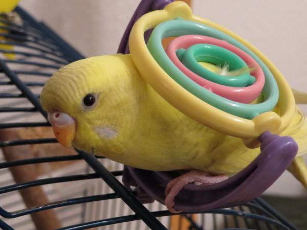 Hattingen gelbe Henne