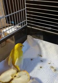 gelber Kanarienvogel