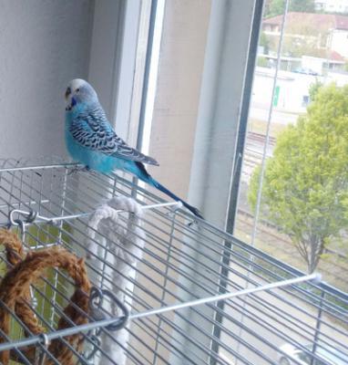 blauer Welli-Hahn auf dem Käfigdach