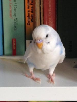 blau-weißer Schecke in Bücherregal
