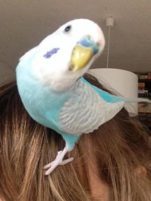 blauer Hahn auf Frauen-Kopf