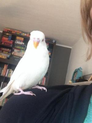 weißer Welli-Hahn auf Schulter sitzend