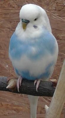 blauer Schecke auf Ast sitzend