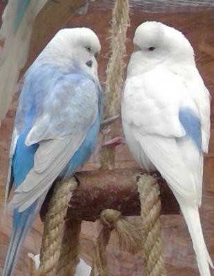zwei blaue Wellis auf Schaukel