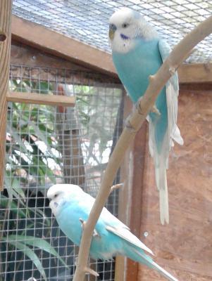 zwei blaue Wellis in Außenvoliere