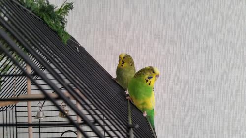 zwei grün-gelbe Welli-Hennen auf dem Käfigdach